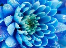 Blaue Chrysanthemen, natürlicher Hintergrund Stockfotos
