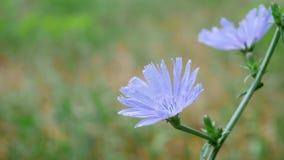 Blaue Cichorium-Blume auf dem Gebiet stock video footage