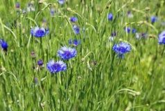 Blaue Cornflowers stockbild
