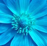 Blaue cyan-blaue Adonis-Blumennahaufnahme Haselnuss, Haselnuss Es kann im Websitedesign und -drucken verwendet werden Stockfotos
