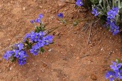 Blaue Dampiera-Blume Dampiera-linearis endemisch nach West-Australien auf rotem Boden im Hinterland lizenzfreie stockfotos