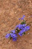 Blaue Dampiera-Blume Dampiera-linearis endemisch nach West-Australien auf rotem Bodenbeschaffenheitshintergrund stockfotografie