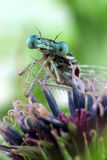 Blaue Damselflynahaufnahme der Augen Stockfotos