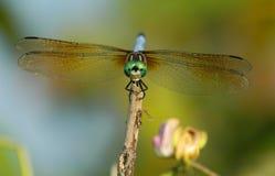Blaue Dasher Libelle Stockbilder