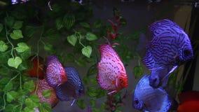Blaue Diskusfische im Aquarium stock video footage