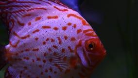 Blaue Diskusfische im Aquarium stock video