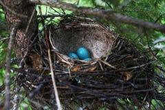 Blaue Eier im Nest Lizenzfreie Stockbilder
