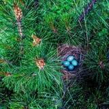 Blaue Eier im Nest in den Niederlassungen einer grünen Kiefer Stockbilder