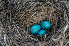 Blaue Eier und Stroh Stockfoto