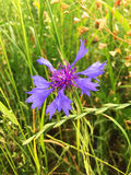 Blaue einzelne Kornblume auf grünem Getreide Lizenzfreies Stockbild