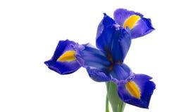 Blaue englische Blende (Iridaceae-Blende latifolia) Stockfoto