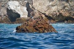 Blaue füßige Vögel auf einem Felsen stockfotografie