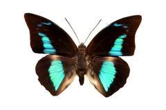 Blaue Farbe des tropischen Schmetterlinges lokalisiert auf Weiß Lizenzfreie Stockfotos