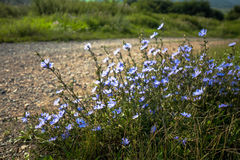Blaue Feldblumen durch den Straßenrand Lizenzfreie Stockfotografie