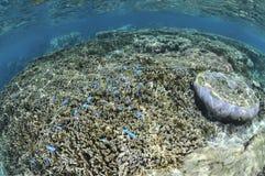 Blaue Fisch-Schwimmen in den Korallen in Okinawa Stockbilder