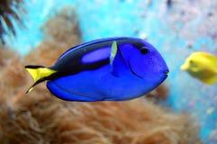 Blaue Fische Lizenzfreies Stockfoto