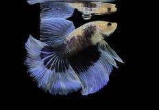 Blaue Fische des Kampfes des Siamesischen Kampffisches, Betta-splendens, Betta-Fische, Halbmond Betta Stockbilder