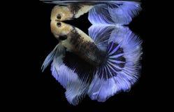 Blaue Fische des Kampfes des Siamesischen Kampffisches, Betta-splendens, Betta-Fische, Halbmond Betta Stockbild