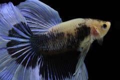 Blaue Fische des Kampfes des Siamesischen Kampffisches, Betta-splendens, Betta-Fische, Halbmond Betta Stockfotos