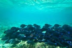 Blaue Fische im karibischen Meer Stockbilder