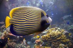 Blaue Fische mit goldenen Streifen Stockfotos