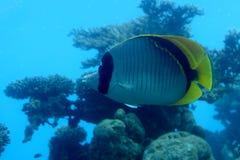 Blaue Fische Unterwasser lizenzfreie stockbilder