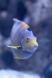 Blaue Fischschwimmen im Ozean Stockbilder