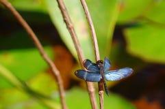 Blaue Flügel Lizenzfreies Stockbild