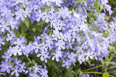 Blaue Flammenblume auf alpinem Hügel Stockfotografie