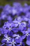 Blaue Flammenblumeblüte im Frühjahr im Garten Stockfoto