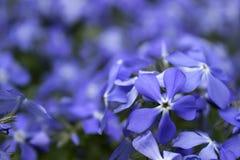 Blaue Flammenblumeblüte im Frühjahr im Garten Stockfotografie