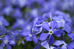 Blaue Flammenblumeblüte im Frühjahr im Garten Stockbilder
