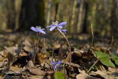 Blaue Frühlingsblume Stockfotos