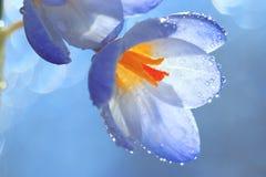 Blaue Frühlingsblumen im frischen Tau Lizenzfreie Stockfotos