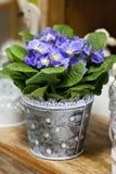 Blaue Gartenprimel Lizenzfreie Stockbilder