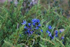 Blaue Gebirgsblumen Lizenzfreie Stockfotos