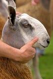 Blaue gegenübergestellte Leicester-Schafe Stockbild