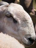 Blaue gegenübergestellte Leicester-Schafe stockbilder