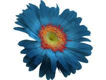 Blaue Gerbera-Blume lokalisiert mit png-Format lizenzfreie stockfotos