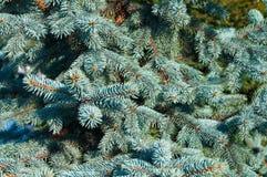 Blaue gezierte Zweige Stockfotos