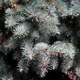 Blaue gezierte Zweige Stockfoto