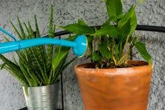 Blaue Gießkanne, die der Orchideenanlage mit Aloevera-Anlage in der Rückseite Wasser gibt lizenzfreies stockfoto