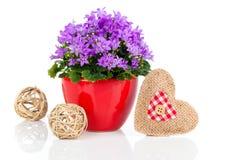 Blaue Glockenblume blüht für Valentinstag mit hölzernem Herzen Stockfotografie