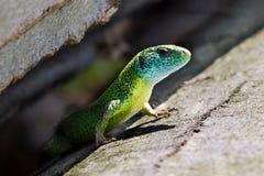 Blaue, grüne und gelbe Eidechse stockfotografie