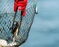 Blaue Greifer-Krabbe gefangen im Netz stockbild