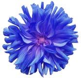 Blaue große Blume, rosa Mitte auf einem weißen Hintergrund lokalisiert mit Beschneidungspfad nahaufnahme große rauhaarige Blume F Stockfotografie