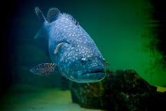 Blaue große Fische Lizenzfreie Stockfotos