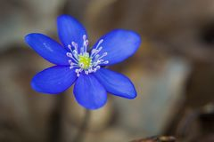 Blaue hepatica Blume stockbild