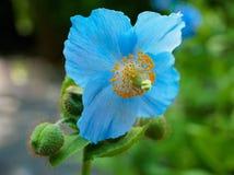 Blaue Himalajamohnblume Stockfoto
