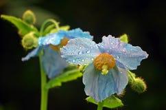 Blaue Himalajamohnblume Stockfotografie